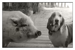 Poppy and Dottie (R. Drozda) Tags: fairbanks alaska northpole ravenveterinaryclinic poppy potbellypig dottie bassethound pig dog drjeanneolson bw ttw drozda littledoglaughednoiret