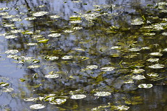 Tribute to Monet. (Albie n Glo) Tags: martinmerewwt wwt water waterlillies monet claudemonet impressionism reflections
