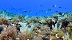 Invasoras en el Mediterráneo (Xavier Mas Ferrá) Tags: mediterráneo mediterraneansea asparagopsis algasinvasoras peces azul costa buceo baleares dive diving blue ocean fauna flora algas seascape underwater panoramica