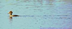 Cutie patootie (NancySmith133) Tags: hoodedmerganser merrittislandnationalwildliferefuge blackpointwildlifedrive centralfloridausa nationalparks eastcoast