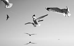 La Changeante .. (.ByOtA ...........) Tags: sky wings trend flight light seagull omar byota canoneosrebelt6i 2017 music classic georgphiliptelemann t6i