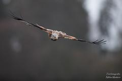 Rotmilan (Tierfotografie Niklas Mattern) Tags: wildlife canon eos 1dxmarkii ef 400l28isii rotmilan milan red kite