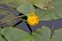 _IGP4191 (chris bosworth) Tags: plants waterlillies places pocklingtoncanal