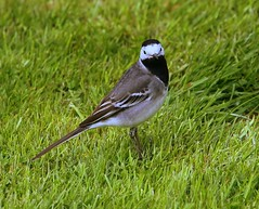 A nice black Bib (Chris Baines) Tags: pied wagtail stutton mill suffolk