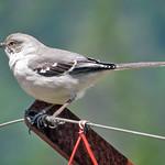 Northern Mockingbird thumbnail