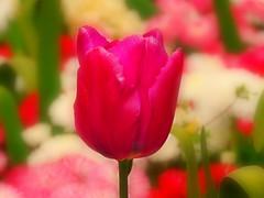 Spring Tulip (Nomadic074) Tags: spring tulip bokeh nature kingspark nottinghamshire
