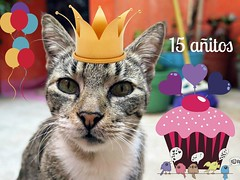 Día de Fiesta !!! (MaPeV) Tags: morris bellolindoguapetón gatos cats chats kawaii felin neko gatti gattini gattoni tabby chat katze gato kitty tabbyspoted powershot canon g16 cumpleaños 15 happy birthday