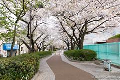 Arakawa Yuenchi-mae (takashi_matsumura) Tags: arakawa yuenchimae nishiogu arakawaku tokyo japan sigma 1750mm f28 ex dc os hsm cherry blossoms sakura spring ngc