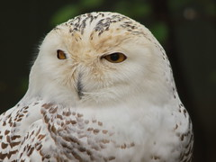 Snowy Owl 3 (dennisgg2002) Tags: bronx zoo new york city nyc ny