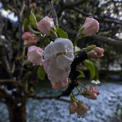 Apfelblüten nach dem Schneefall (Helmut Reichelt) Tags: apfelblüten schneefall garten aprilwetter april frühling geretsried bayern bavaria deutschland germany panasonic lumix fz200 captureone10 colorefexpro4 makro crop