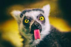 The Sly Mr. Lemur (Thomas Hawk) Tags: america forestpark lemurcatta missouri mo ringtailedlemur saintlouiszoo stlouis usa unitedstates unitedstatesofamerica lemur zoo