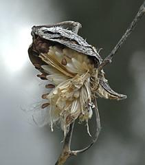 Missed Opportunity (Vidterry) Tags: seeds seedpod milkweed