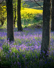 Blue and Yellow (Sarah_Brooks) Tags: bluebells oilseed trees beech dorset landscape woods blue yellow spring