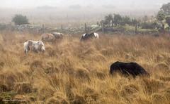 Swimming in a russet sea. (lawrencecornell25) Tags: landscape dartmoor dartmoornationalpark dartmoorpony mist scenery pony horse equine olympusomdem10mkii