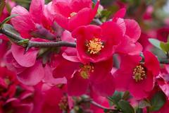 IMG_0356 (vargabandi) Tags: chaenomeles vargabandi garden red blossom