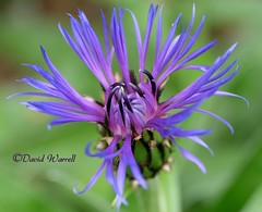 Cornflowers (David Warrell) Tags: fujixm1 inthegarden closeupmacro cornflower florafauna gardenflower gardenplants northamptionshire uk