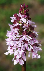 """Kents quintessential wild orchid """"The Lady Orchid"""" Orchis purpurea (favmark1) Tags: day112 365 365challenge 2017 wildorchid kentorchids britishorchids ladyorchid orchispurpurea orchids kent"""