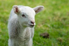 The cutest lamb... Ever! (andyp178) Tags: lamb sheep animal cute nature spring grass wool