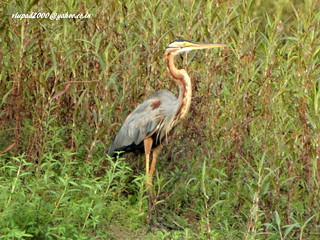 DSC03959 Purple Heron (Ardea purpurea)