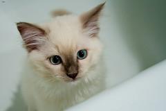 oh hi! (kunyiliu) Tags: bathroom kittens kittenz ragdoll zed zedicus