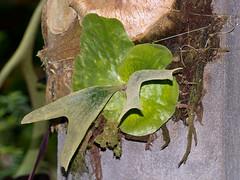 Geweihfarn (Eerika Schulz) Tags: platycerium staghorn elkhorn fern farn geweihfarn puyo ecuador pastaza