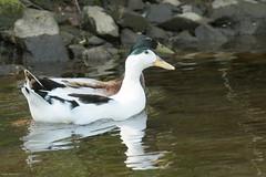 _D5C7698.jpg (peely03) Tags: pigeon duck chaffinch uppermill bridgeplate tulip blackbird