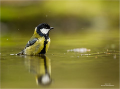 Great tit taking a bath - Koolmees in bad 140417(*) (Gertj123) Tags: birds bokeh water spring sigma120300mmf28 canoneos1dmarkiv common netherlands nature bathing reflection