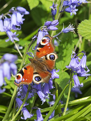 Peacock Butterfly (sivaD nhoJ) Tags: peacockbutterfly nymphalisio nymphalidae lepidoptera butterfly insect invertebrate arthropod animal wildlife macro nature 2017 bluebell flower