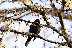 Common Blackbird (Turdus Merula) (diesmali) Tags: gothenburg västragötalandslän sweden common blackbird koltrast turdusmerula bird tree spring canoneos6d canonef100400mmf4556lisiiusm cercidiphyllumjaponicum katsura