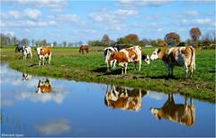 Cows (Hindrik S) Tags: cow kij koeien koe ko fryslân friesland netherlands nederland dutch ditch sleat sloot canal greide weide lân weiland meadow pasture blue blauw blau green grien grün landscape lânskip landschap tamronaf16300mmf3563diiivcpzdmacro tamron sony a57 f110 45mm 1160 iso 100 2017 boksumersoal boksum haitzeholwerda