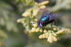 Greenbottle fly #1 (Lord V) Tags: macro bug insect fly greenbottle