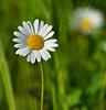 i am .. (LuaChris) Tags: white flower fleur daisy marguerite blanche flowerthequietbeauty
