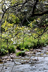 Bloom (RebeccaCMorris_) Tags: flower tree water river aberdeenshire stonehaven
