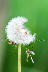 (Irantzu Arbaizagoitia) Tags: life white plant flower macro green nature beautiful closeup season insect spring flora blossom head background seed dandelion mosquito single delicate fragile midge