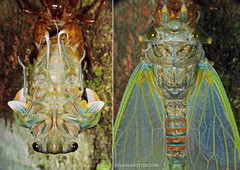 (Techuser) Tags: macro nature animal cicada insect rainforest close moult mata piedade atlantica ecdisis canons5is