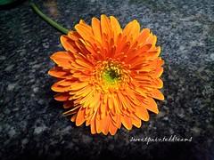 gerbera (my sweetpainteddreams) Tags: plant flower nature gerbera orangegerbera