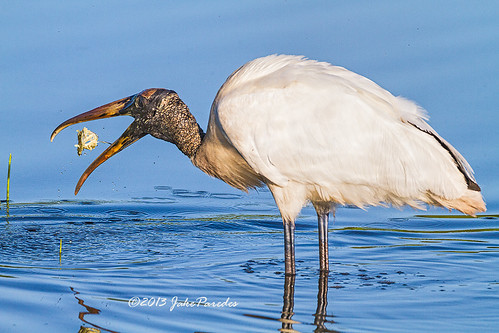 Wood Stork and a morsel of food