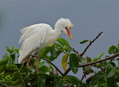 Cattle Egret (Birdwatcher 1406(Bill Eaton)) Tags: ngc floridawildlife breedingplumage wadingbirds cattleegrets avianexcellence