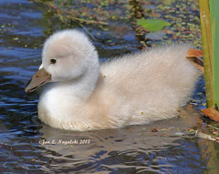 """Where's Daddy!"" (jannagal) Tags: baby white bird nature water swan michigan wildlife cygnet cattails marsh muteswan cygnusolor canon60d lakestclairmetropark jannagalski janangal"