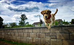 ziggy jumping the wall (Chris B 1000D) Tags: birthday old chris 2 portrait dog pet cute field grass cat canon garden puppy happy photography golden poser friend f14 year adorable posing sunny retriever 2nd niece presents jess second fixed pup 50 depth bandanna herbie ziggys berridge