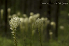 "Beargrass • <a style=""font-size:0.8em;"" href=""http://www.flickr.com/photos/63501323@N07/9104967684/"" target=""_blank"">View on Flickr</a>"