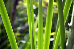 grass blades (Mr.  Mark) Tags: park macro green nature grass lines photo nikon bars stock spike blade markboucher d5200