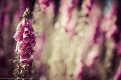 Fox Gloves (Scott Cartwright Photography) Tags: canon vintage bokeh tint m42 foxglove canoneos professionalphotographer shallowdepthoffield jupiter9 m42lens canoncameras canon7d foxgloveflower scottcartwright shrewsburyphotographer shropshirephotographer shrewburyfreelancephotographer scottcartwrightphotography shropshirefreelancephotographer shrewsburyprofessionalphotographer