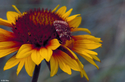 Photo - Gaillardia moth tucked into a single Indian Blanket Flower.