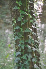 Edera. (elisadeluca_eli) Tags: summer verde vintage relax nikon flickr natur natura albero tronco mattina edera d3100