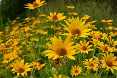 August 4 (deta k) Tags: flowers berlin germany deutschland flora natur pflanzen blumen blüten sooc nikond5100