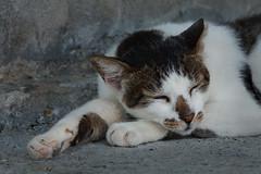 Sleeping Kitty (M.O.O.N.F.A.C.E) Tags: sleeping cat taiwan 2013  canon450d