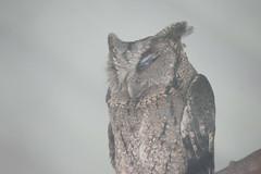 (ddsnet) Tags: bird birds zoo sony hsinchu taiwan 99 raptor  slt birdofprey      sinpu hsinpu bird  zoo zoobird     singlelenstranslucent 99v