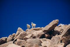 Mountains & Mountain Goats (Bernardo Mancebo) Tags: trees sky mountain lake mountains canon woods colorado echo goat goats 5d mountevans lightroom markiii vsco