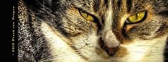 Onze Dirk (Fr@nk ) Tags: sunlight topf25 animals cat topf50 topf75 kat europe farm topf100 dirk kater tomcat watmooi mrtungsten62 frankvandongen wwworvilnl brotherofvriend